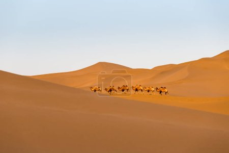 camels in the desert, clipping path included, desert landscape at dusk