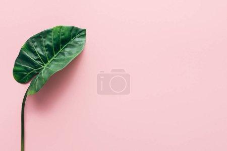 平躺着绿色美丽的棕榈叶粉红色, 简约的概念